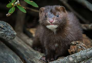 Mink carrying egg in mouth